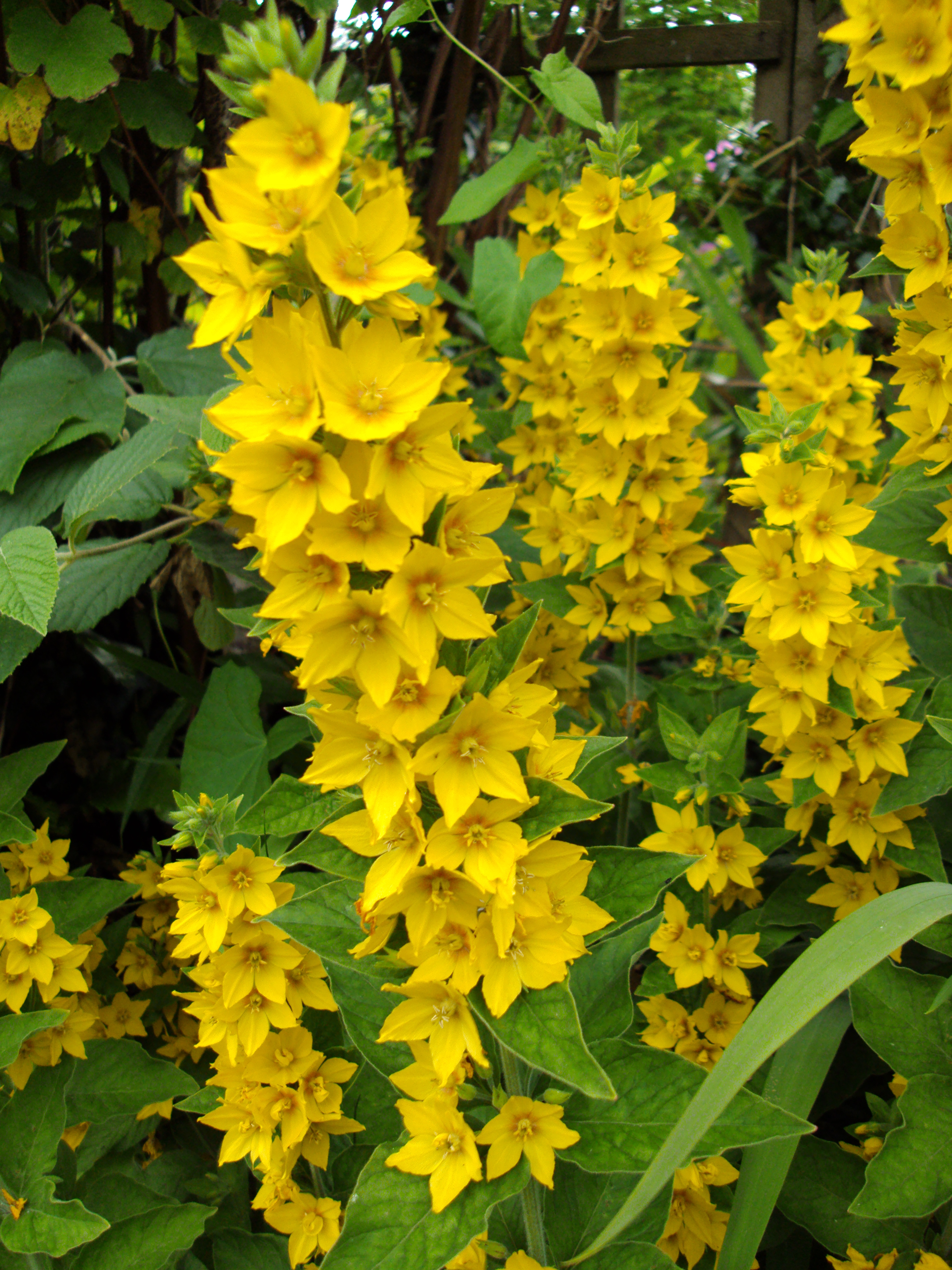Lysimachia punctata garden loosestrife meadowood bed for Garden trees with yellow flowers